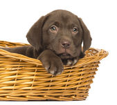 Close-up of a Labrador Retriever Puppy lying down in wicker bask — Stock Photo