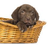 Primer plano de un cachorro labrador retriever acostados en mimbre deleitarte — Foto de Stock