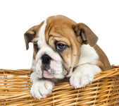 Close-up of an English Bulldog Puppy, 2 months old, in a wicker — Stock Photo