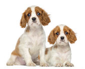 Two Cavalier King Charles Puppies, 2 months old, sitting and lyi — Stock Photo