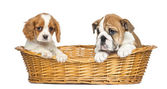 Cavalier King Charles and English Bulldog puppies, sitting in a — Stock Photo
