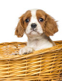 Close-up of a Cavalier King Charles Puppy, 2 months old, in wick — Foto de Stock