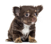 Chihuahua Puppy, 2 months old, sitting and looking up, isolated — Stock Photo