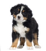 Bernese Mountain Dog Puppy, 2 months old, standing, isolated on — Stock Photo