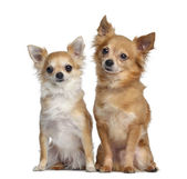 Two Chihuahuas, 5 and 4 years old, sitting next to each other, i — Stock Photo