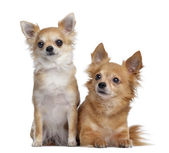 Two Chihuahuas, 5 and 4 years old, sitting and lying next to eac — Stock Photo