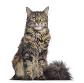 Maine coon cat, sitting and facing, isolated on white — Stock Photo