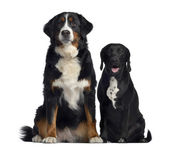 Bernese Mountain Dog and crossbreed between labrador and beagle, — Stock Photo