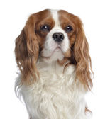Close-up of a Cavalier King Charles, 2 years old, isolated on wh — Stock Photo
