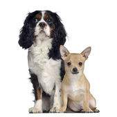 Cavalier King Charles, 1,5 years old and Chihuahua, 7 months old — Stock Photo