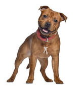 Staffordshire Bull Terrier, 9 months old with red collar, standi — Stok fotoğraf