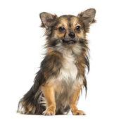 Chihuahua,1,3 year old, sitting, isolated on white — Stok fotoğraf
