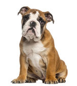 English Bulldog puppy, 3,5 months old, sitting, isolated on whit — Stock Photo