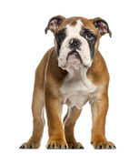 English Bulldog puppy, 3,5 months old, standing, isolated on whi — Stock Photo