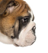 Close-up of an English Bulldog puppy profile, 3,5 months old, is — Stock Photo