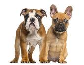 İngilizce bulldog yavru ve her ot yanındaki fransız bulldog yavruları — Stok fotoğraf