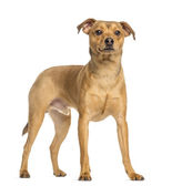 German Pinscher, 8 months old, standing, isolated on white — Stock Photo