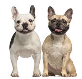 Two French Bulldogs, 3 years old, sitting and panting, isolated — Foto de Stock