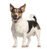 Jack Russell Terrier, 3 years old, standing and panting, isolate — Stock Photo