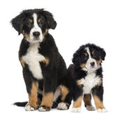 Two Young Bernese Mountain dogs, 3,5 months old and puppy, next — Stock Photo