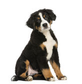 Young Bernese Mountain dog, 3,5 months old, isolated on white — Stock Photo