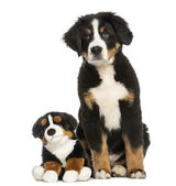 Young Bernese Mountain dog, 3,5 months old, sitting with teddy b — Stock Photo