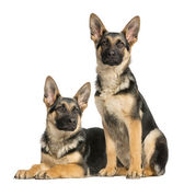 Two young German shepherd, sitting and lying down 6 months old — Stock Photo