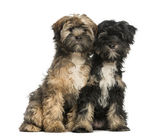 Two Tibetan Terrier, 4 months old, sitting and facing, isolated — Zdjęcie stockowe