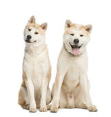 Two Akita Inu sitting, 2 years old, isolated on white — Stock Photo