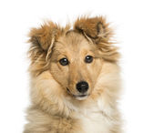 Close-up of Border Collie, looking at the camera, isolated on wh — Stock Photo