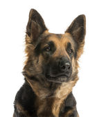 Close-up of a German shepherd looking away, 4 years old, isolate — Stock Photo