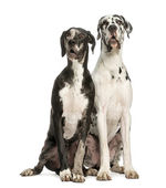 Two Great Danes sitting and looking away, 1 year old, isolated — Stock Photo