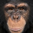 Close-up of a Chimpanzee looking at the camera, Pan troglodytes — Stock Photo #26518627