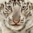 Close-up of a White tiger cub (2 months old) — Stock Photo #26518825