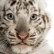 Close-up of a White tiger cub (2 months old) — Stock Photo #26518907