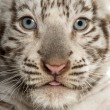 Close-up of a White tiger cub (2 months old) — Stock Photo #26518931