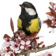 Close-up of a male great tit perched on a flowering branch, Paru — Stock Photo
