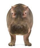 Hipopotam - hippopotamus amphibius, stoi aparat, na białym tle — Zdjęcie stockowe