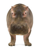Hippopotamus - Hippopotamus amphibius, facing the camera, isolated on white — Foto de Stock