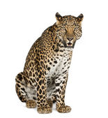 Leopard sitting, roaring, Panthera pardus — Stock Photo