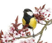 Male great tit tweeting, Parus major, isolated on white — Stock Photo
