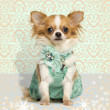 Chihuahua wearing a green dress, sitting on fancy background — Stock Photo