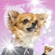 Stock Photo: Close-up of a Chihuahua on glamorous background, 14 months old
