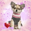Chihuahua puppy sitting on heart background, 3 months old — Stock Photo #26524171