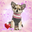 Chihuahua puppy sitting on heart background, 3 months old — Stock Photo