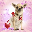 Chihuahua wearing a lace dress and fancy collar, on heart backgr — Stock Photo