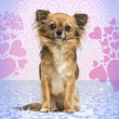 Chihuahua sitting on heart background, 2 years old — Stock Photo