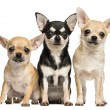 Tree Chihuahuas next to each other, looking at the camera, isola — Stock Photo #26525597