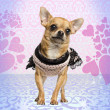 图库照片: Dressed up Chihuahuon heart background, 3 years old