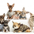 Group of dressed-up Chihuahuas, isolated on white — Stock Photo #26525801